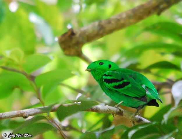 asian_green_broadbill