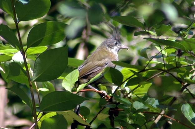 eastern-whipbird-psophodes-olivaceus