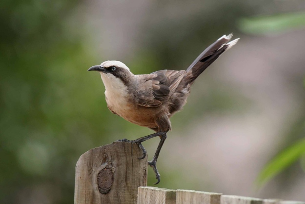 grey_crowned_babbler