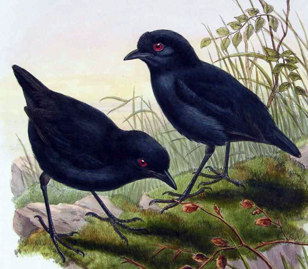 Melampitta_lugubris_by_John_Gould-cropped