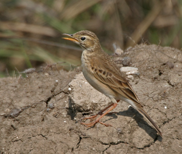 Paddyfield_Pipit_Anthus_rufulus_calling_at_Sultanpur
