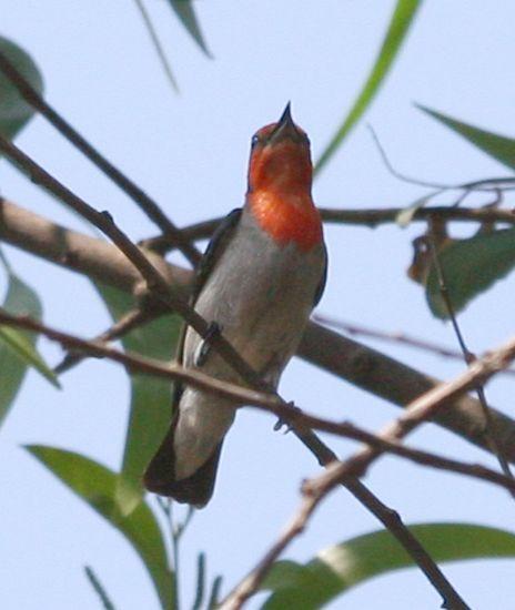 sh_flowerpecker