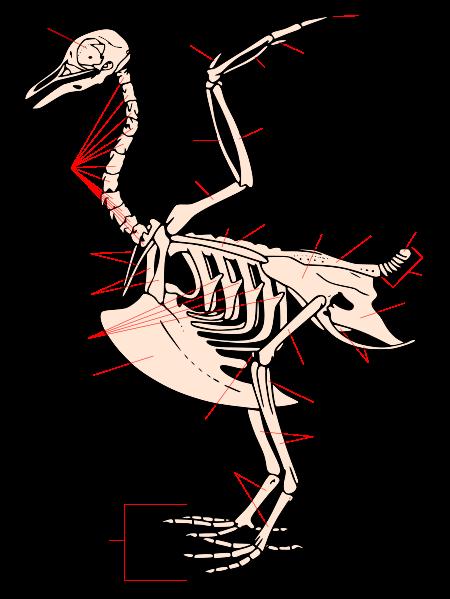 Sistem kerangka burung merapti (wikipedia.org)