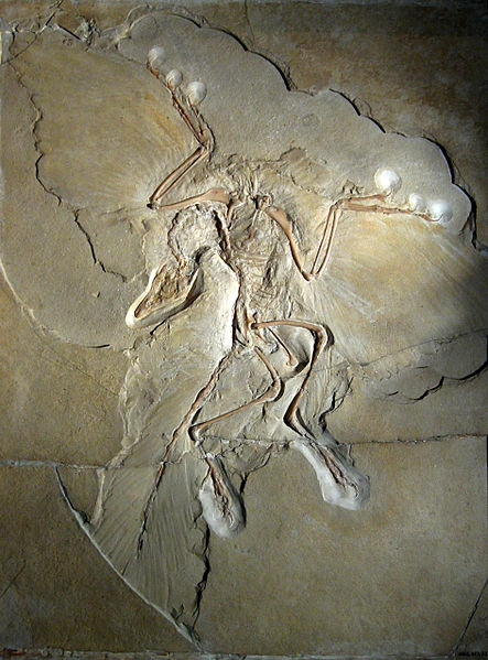 Spesimen Archaeopteryx lithographica di Berlin yang terkenal. (wikipedia.org)