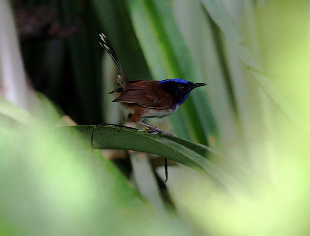 zEmperor_Fairy-Wren_female
